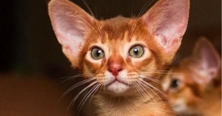15 chatons Abyssin tellement mignons que vous n'allez pas pouvoir détourner le regard