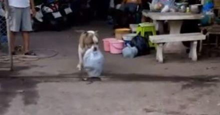 Les voisins regardent par la fenêtre : ce que tient le chien American Bully les laisse sans voix !