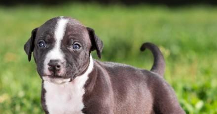 Le Bon Coin : il dépose une annonce glaçante au sujet de son chien Amstaff et choque tout le monde…