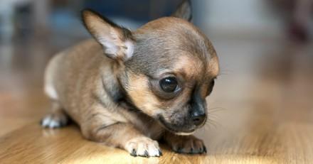 10 bébés Chihuahua qui vont vous rendre totalement gaga