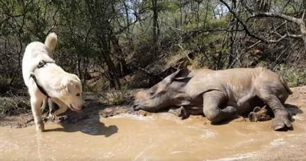 Ce bébé rhinocéros et ce chien qui jouent dans la boue sont trop mignons (Vidéo du jour)