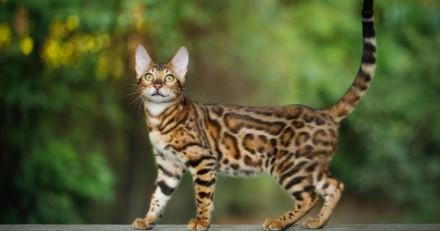 Certaines races de chat seront désormais interdites à Bruxelles