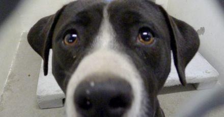 Dans son enclos au refuge, ce Pit bull craintif a eu droit à la plus belle des surprises ! (Vidéo)