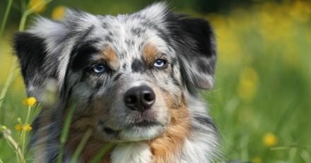10 photos qui prouvent que le Berger australien est un chien exceptionnel
