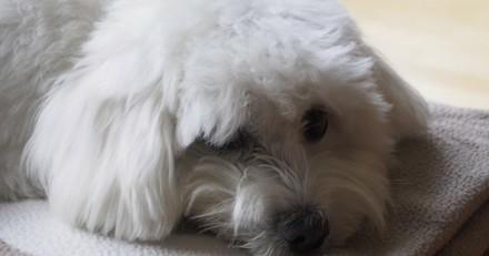 Perdu dans le Nord, un chien est retrouvé en Lorraine 11 ans plus tard !
