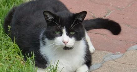 A Adopter : Bilbo, beau chat noir et blanc, calme sociable et… gourmand !