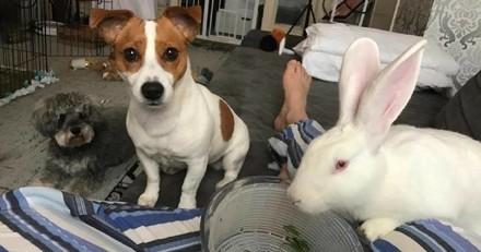 Un lapin sauvé devient le meilleur ami des chiens !