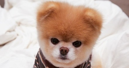 Boo, le chien le plus mignon du web, est mort