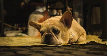 Dans l'Oise, les vols de chiens de race se font de plus en plus nombreux