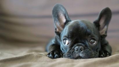 Bouledogue français : tout savoir sur cette race de chien