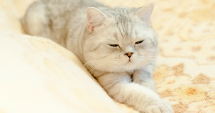 10 chatons British Shorthair vraiment trop mignons