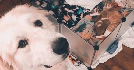 Tout comme sa maîtresse, ce grand chien accueille les nouveaux chatons avec plaisir ! (Vidéo)