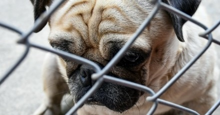 Un ancien vétérinaire soupçonné de trafic de chiots !