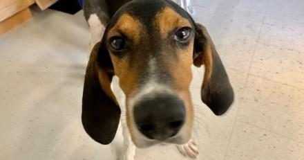 Ils demandent au vétérinaire d'euthanasier leur chien de chasse de 6 mois car sa patte est cassée !