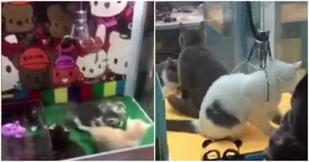 Scandale ! Un parc d'attractions propose d'attraper des chatons dans une machine