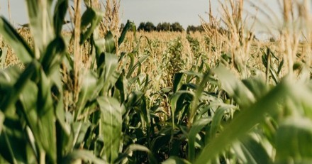 """""""Ces sons me hantent encore"""" : elle entend des bruits dans un champ de maïs et fait une terrible découverte"""