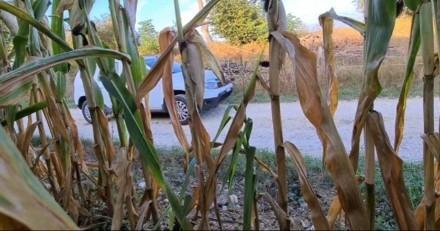 Il se cache dans un champs de maïs et allume sa caméra : ce que fait sa voisine avec son chien donne la nausée