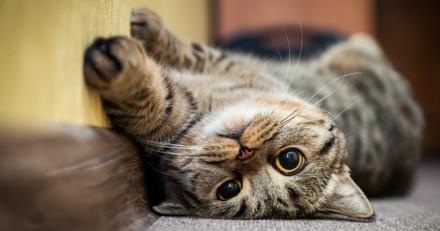 Adopter un chat quand on habite dans un studio : bonne ou mauvaise idée ?