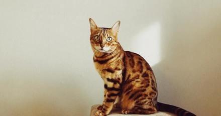 Son chat de race Bengal est volé : il fait des recherches en ligne et repère une annonce qui le fait bondir