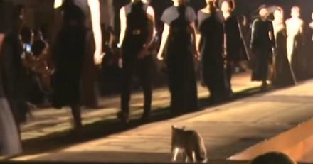 Un chat s'incruste pendant un défilé, ce qu'il fait en s'approchant d'une femme choque tout le monde (Vidéo)