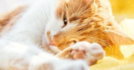 Canicule et fortes chaleurs : comment protéger son chat quand il fait chaud ?