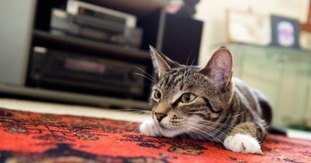 Ce chat « sauve » sa maîtresse d'une araignée pas comme les autres (Vidéo)