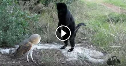 Si ce chat veut attraper cette chouette, ce n'est pas pour la manger…