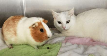 « Ils ont développé une façon unique de communiquer », un chat et un cobaye étonnent les membres d'un refuge