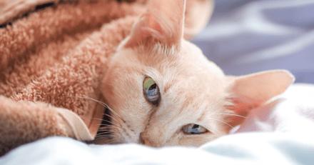 Covid-19 : chat contaminé dans l'État du Michigan, une première depuis le début de la pandémie