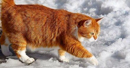 Recueilli dans la rue, ce beau chat roux vit sa meilleure vie dans une maison enneigée en Russie