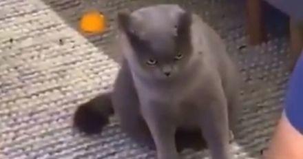 Ce chat est furieux que son maître ait pris un nouveau chaton, et le lui fait bien sentir (Vidéo)