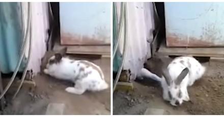 Le lapin libère un chat piégé et devient célèbre dans le monde entier (Vidéo)