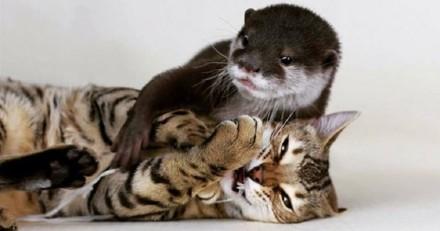 Ils adoptent un chat Bengal pour tenir compagnie à leur loutre : la 1ère rencontre est inoubliable !