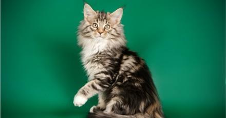 Un chat invité sur le plateau de LCI se cache dans le décor et refuse de sortir