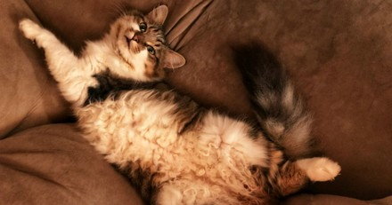 Pourquoi mon chat me montre-t-il son ventre ?
