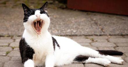 Perte de dents chez le chat âgé : cause et traitement
