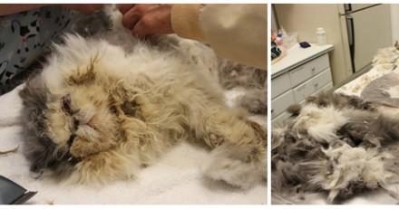 Trouvé dans un état pitoyable, ce chat a impressionné tout le refuge avec sa métamorphose