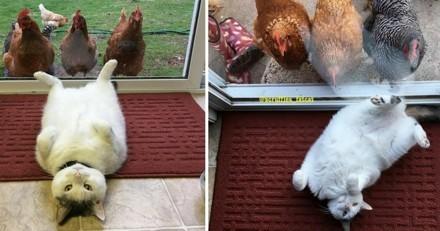 Ce chat a son harem de poules… et c'est beaucoup trop drôle !