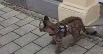 Les passants voient un homme promener son chat en laisse, en s'approchant ils ont la peur de leur vie