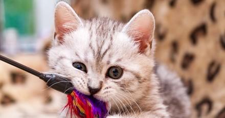 Arthrose du chat : Alimentation, jeux… Que faut-il faire pour le garder en bonne santé ?