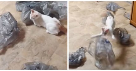 Ce chat devient dingue (mais vraiment) quand il croise des sacs plastique (Vidéo du jour)