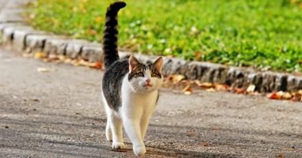 Les mouvements de queue du chat ont-ils une signification?
