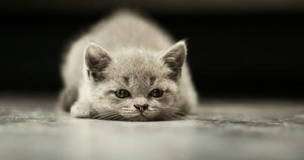 La dépression chez le chat : quel remède ?