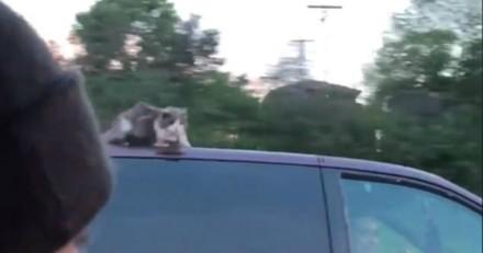 Ils voient un chat accroché sur le toit d'une voiture roulant à 100 km/h, la vidéo fait le tour du monde