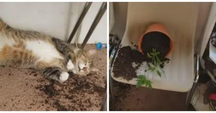 Ces chats ont trouvé les plants de cannabis de leur maîtresse et en ont bien profité (Vidéo)