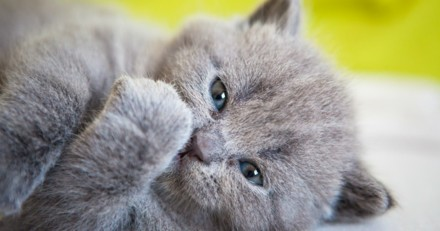 10 chatons Chartreux absolument craquants