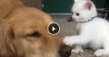 Ce chaton veut jouer, mais son ami canin n'est pas de cet avis ! (Vidéo du jour)