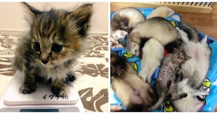 Ce chaton errant a été adopté par des furets, et c'est adorable !