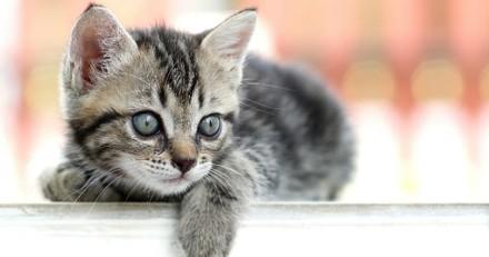 L'éducation du chaton : l'importance de la vicariance