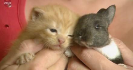 Elle adopte un petit lapin : quand il voit le chaton, c'est la fête (vidéo)